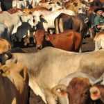 1 Aus Cattle in Indo