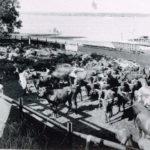 #4. 1930's Export cattle  copy