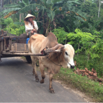 Indonesia's beef policy