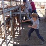 3.2 Dartanion processing calves copy