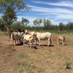 Photo 4. Selected Brahman cows and calves copy