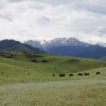 Cattle grazing in the mountains copy