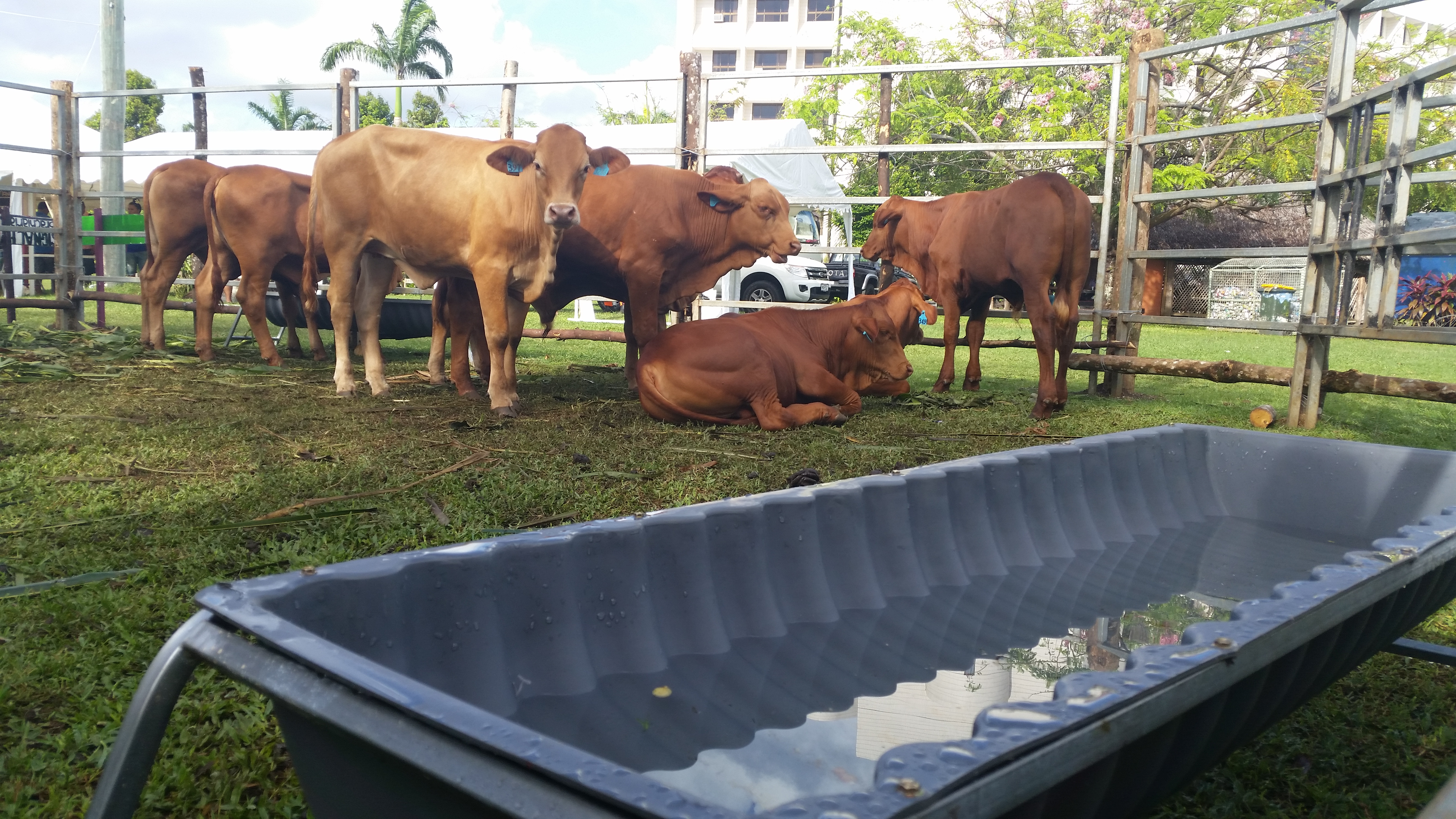 1.2 Our Droughtmaster weaner bulls awaiting the crowds
