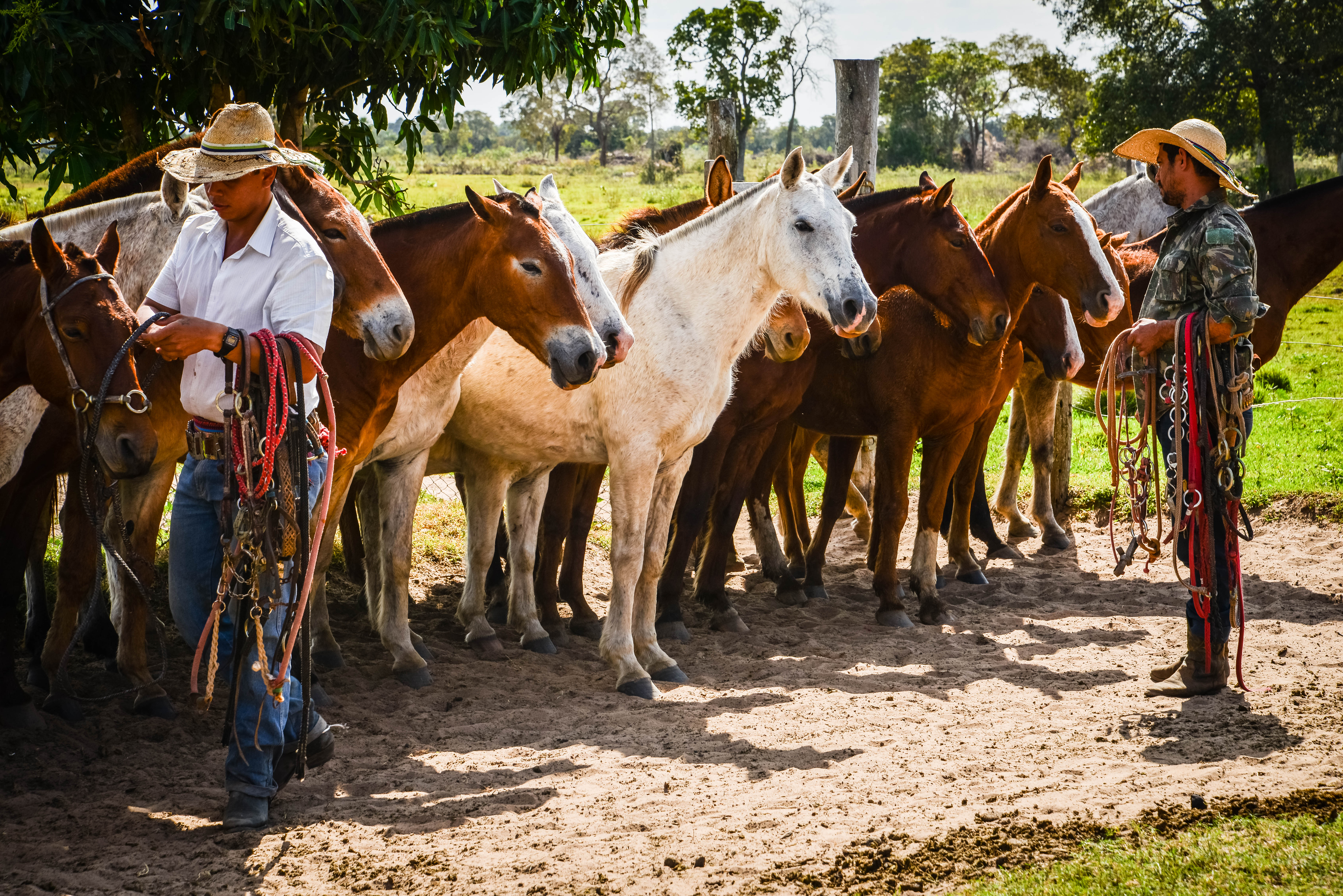 2.1 - Horses and Mules lining up in the morning