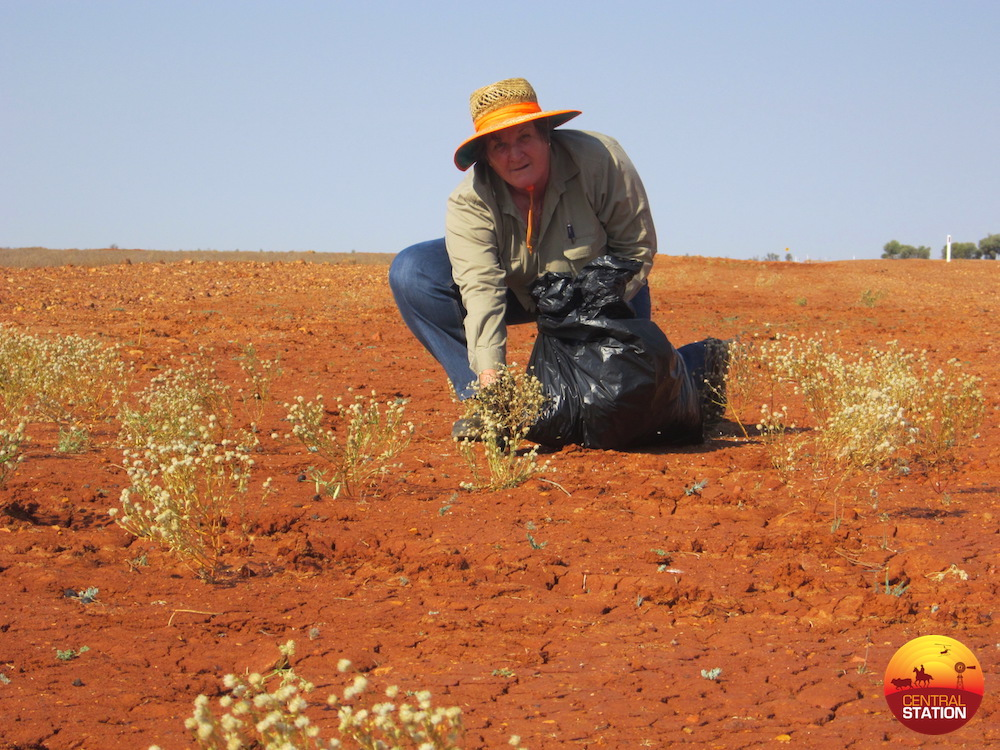 3.1 Marie Vitelli - Collecting Pimelea for research project copy