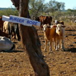 2.3 Cows and calves at Murderer's Bore. copy
