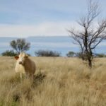 3.2 Cow in Graysons paddock. copy