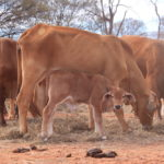 5.1 Some of the young cows and calves we sold copy