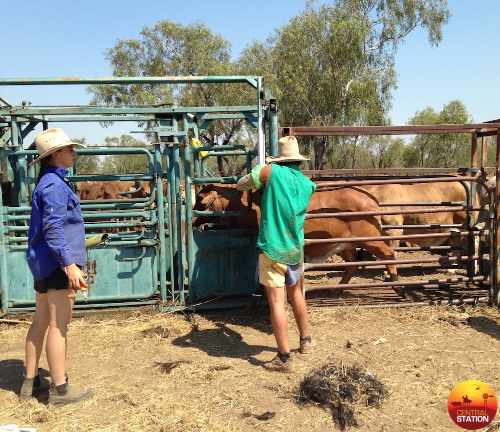 2.2 Pregnancy testing cows copy