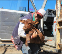 """3.1 Myself unloading a calf from the Toyota, at """"Latrobe"""". He got tired of trying to keep up with the cows on the walk in to the yards, so we gave him a lift. copy"""