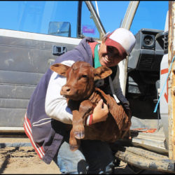 "3.1 Myself unloading a calf from the Toyota, at ""Latrobe"". He got tired of trying to keep up with the cows on the walk in to the yards, so we gave him a lift. copy"