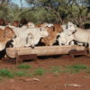 Brahman cattle at water trough and at feedlot feeding